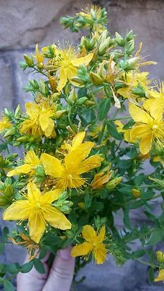 Třezalka Sisal, Medicinal Plants, Korn, Diy And Crafts, Health, Garden, Nature, Herbs, Flowers