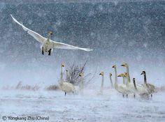 Snow swans - Yongkang Zhu - Wildlife Photographer of the Year 2008 : Animals in their Environment - Winner