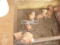 amerikai staffordshire terrier Staffordshire terrier ingyenes hirdetések