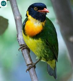 https://www.facebook.com/WonderBirds-171150349611448/ Ăn quả ngực cam; Họ Cotinga-Cotingidae; Ecuador và Colombia, Nam Mỹ || Orange-breasted fruiteater (Pipreola jucunda) IUCN Red List of Threatened Species 3.1 : Least Concern (LC)(Loài ít quan tâm)