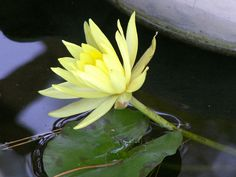 mini yellow water lily by dagutzyone's  via Flickr