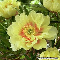 Bartzella This Itoh Peony's charming yellow blooms bring welcome color and fragrance to the spring garden. Perfect cut for bouquets and paired with other Itoh Peonies for a rainbow of spring blooms. (Paeonia Itoh)