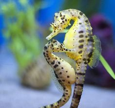 Seahorses are the only animals in the entire animal kingdom in which the male, not the female gives birth and cares for their young! The female seahorse deposits the eggs into the males small pouch like a kangaroo where the eggs are fertilized and where the baby seahorses grow until it is time for them to be born.