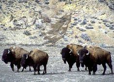 Buffalo Photograph : Moving with Spirit.