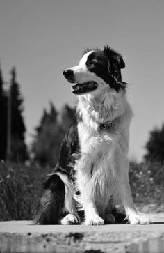 Dog - Border Collie - Than on www.yummypets.com