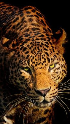 Calmness of the killer ~ Leopard ~ from Iryna Nature Photography #provestra