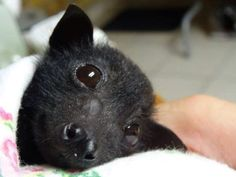 Orphan baby black headed flying fox, Australia