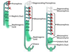 Nephrogenic Cord, Nephric duct, Pronephros, Mesonephros and Nephric Duct Formed form Intermediate Mesoderm