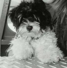 Havanese =) this is what our baby is going to look like!!