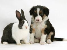 border collie e coelho