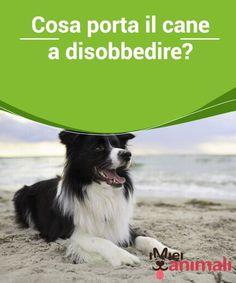 Cosa porta il cane a disobbedire? Fra tutte le cattive #abitudini che può avere il #cane, la disobbedienza è una delle #peggiori, perché è importante che il cane #rispetti delle regole... #Addestramento