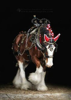 (Clydesdale Horse~Beautiful) * * HE KNOWS IT,TOO! I would love to have a team of Clydesdales pulling a sleigh at Christmas time. How awesome that would be. Big Horses, Work Horses, Pretty Horses, Horse Love, Beautiful Horses, Animals Beautiful, Black Horses, He's Beautiful, Absolutely Gorgeous