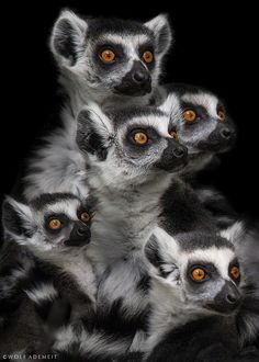 """Gimme some"" - The ring-tailed lemur (Lemur catta) by Wolf Ademeit on 500px"