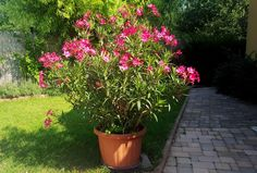 Tévhitek a leander ápolásáról - Kertészkedek. Clematis, Geraniums, Home And Garden, Nature, Gardening, Garden Ideas, Vases, Garden, Flowers