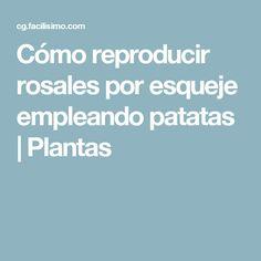 Cómo reproducir rosales por esqueje empleando patatas   Plantas