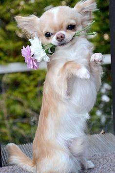 """Go on, teach me anything!"" #dogs #pets #Chihuahuas facebook.com/sodoggonefunny"
