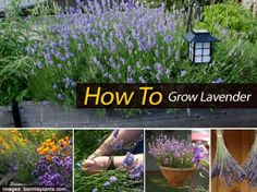 How To Grow Lavender  Going to do this next summer. One container, that's all I I will room for.