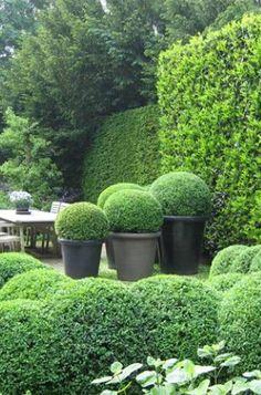Boxwood in Garden