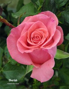 Cherish - Floribunda, orange-pink, 28 petals, 1979, rated 7.5 (good) by ARS.