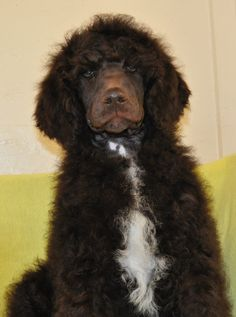 brown standard poodle puppy ...........click here to find out more http://googydog.com