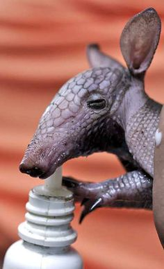 Baby armadillo - he's like a mourse (mouse + horse)