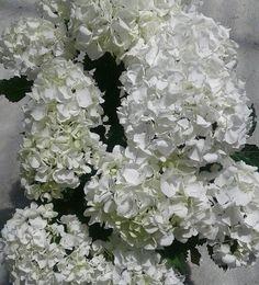 Hydrangea, hortensia  de flor blanca
