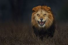 Pakistani nature photographer Atif Saeed managed to capture this stunning shot of a lion — just before it leapt at him.