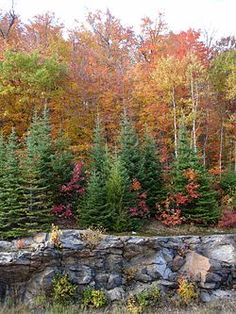 Fall Foliage In Algonquin Park Ontario Canada - Fall Foliage In Algonquin Park Ontario Canada Ontario, Canadian Forest, Canada Summer, Algonquin Park, Parks Canada, Autumn Scenes, Camping Spots, Canada Travel, Canada Trip