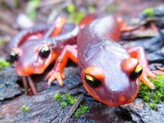 Two Ensatina salamanders (<em>Ensatina eschscholtzii</em>), a species native to the West Coast of the United States. These salamanders are likely vulnerable to a horrific new chytrid fungus that has spread from Asia to Europe and now threatens to arrive in North America.