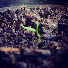 Muda de tuia que cresceu a partir de sementes que recebi numa troca feita através do mural de trocas do blog   O mural: http://www.saberesdojardim.com/mural-de-trocas/