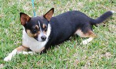 Spencer Corgi & Terrier Mix • Adult • Male • Small Sugar Land Animal Services Sugar Land, TX