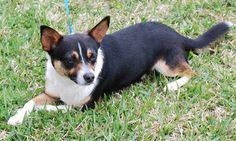 Spencer Corgi & Terrier Mix • Adult • Male • Small Sugar Land Animal Services Sugar Land, TX