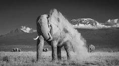 elephants black and white - Google Search