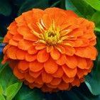 Heat loving Zinnia 'Mellon Orange'