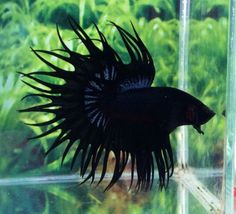 C48-Thai-Import-Black-Orchid-King-Crowntail-CT-Male-Betta-