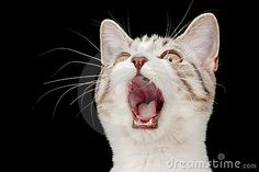 screaming kitten - Google Search Angry Puppy, Cat Reference, Kitten, Puppies, Google Search, Cats, Animals, Cute Kittens, Kitty