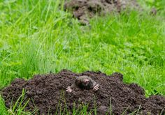 Photo about Mole put out his head from molehill hole. Enemy for beautiful lawn. Image of defend, close, defending - 40996200 Wooden Windmill, Taupe, Types Of Soil, Roots, Grass, Stock Photos, Plants, Beautiful, Minden