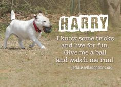 Today's featured Jack Russell rescue for adoption, foster or sponsorship - Harry!