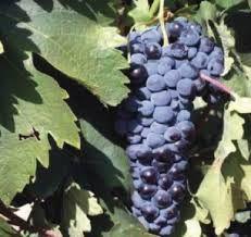 Resultado de imagem para Jundiaí S.P.-Brasil - Terra da uva - plantações de uva
