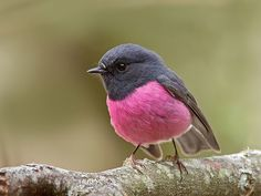 This is Pink Robin and native to southeastern Australia. They also have unique eggs having greenish-, greyish- or blueish- white with lavender and dark brown spots concentrated at the end.