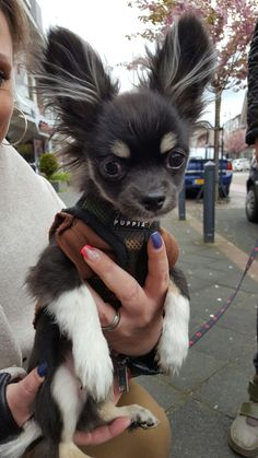 Adorable chihuahua pup