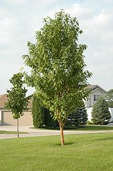 goldspur amur cherry