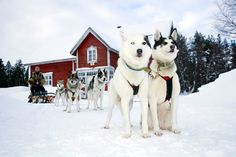Husky Safaris in Holiday Village Gulo Gulo in Ranua