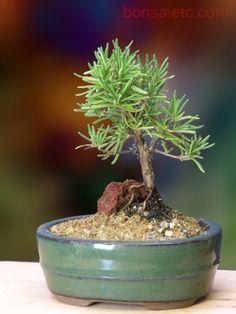 Rosemary Bonsai - Herbal Bonsai That Makes a Wonderful Gift
