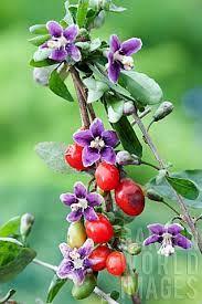 Lycium barbarum Goj of  Boksdoorn groeit uit tot 3 m lange takken voorzien van tot ruim 3 cm lange doorns. Het gebruik van deze plant in voedingsmiddelen is niet toegelaten in België, het gebruik van bessen en bast is wel toegelaten