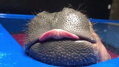 Fiona the Baby Hippopotamus Repeatedly Sticks Out Her Big Tongue While Dreaming Away in the Bath