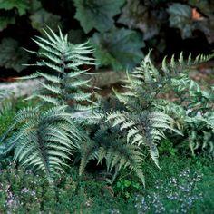 japanese painted fern perennials
