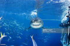 Stock Photo : Mexico, Great White Shark (Carcharodon Carcharias)