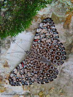 Grey Cracker Butterfly (Hamadryas feronia)