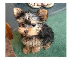 Animals - Yorkie puppies available tiny size they are current on all shots.They are home raised puppies,all teacup Yorkie and are . Best Puppies, Cute Puppies, Cute Dogs, Dogs And Puppies, Corgi Puppies, Beagle, Bear Dogs, Spaniel Puppies, Rottweiler Puppies